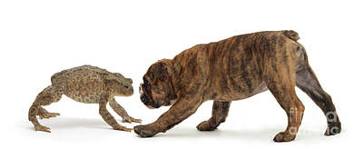 Brindle Photograph - Brindle Bulldog Puppy And Toad by Jane Burton