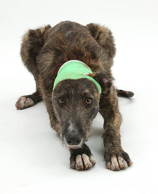 Brindle Lurcher Wearing A Bandage Art Print by Mark Taylor