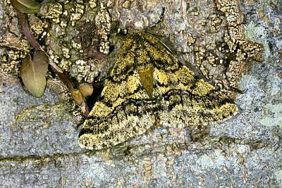 Brindled Beauty Butterfly Art Print by Dr Keith Wheeler
