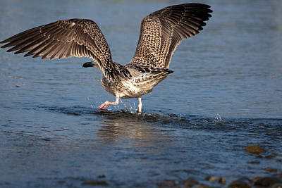 Herring Gull Photograph - Brisk Walk by Karol Livote