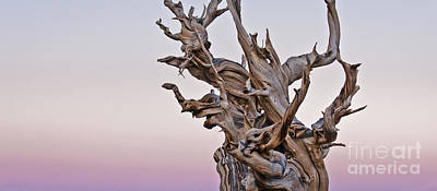 Photograph - Bristlecone Pine - Early Morning - 1 by Olivier Steiner