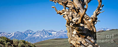 Photograph - Bristlecone Pine - Early Morning - 3 by Olivier Steiner