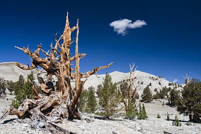 Photograph - Bristlecone Pine - Pinus Longaeva by Olivier Steiner
