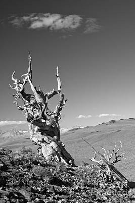 Photograph - Bristlecone Pine And Cloud by Olivier Steiner