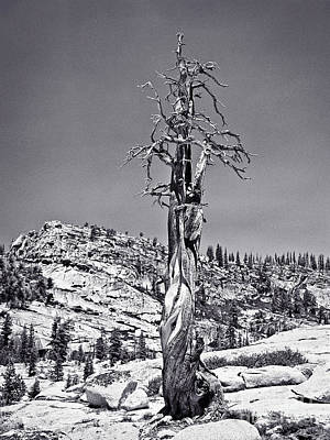 Photograph - Bristlecone Pine - High Sierra by John Waclo