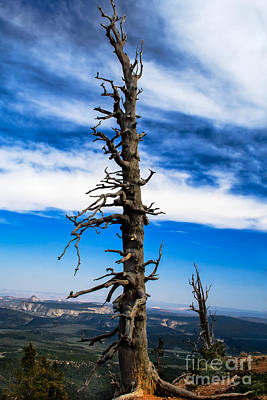 Photograph - Bristlecone Pine by Robert Bales