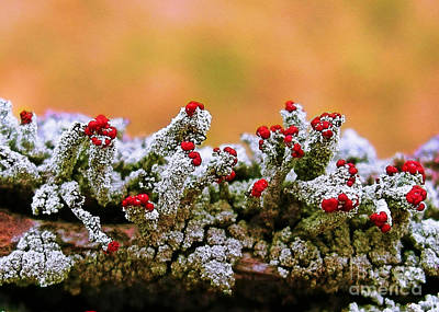 Photograph - British Soldier Lichen by Judi Bagwell