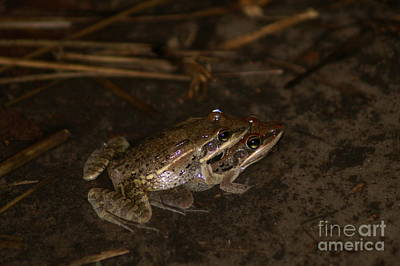 Photograph - Broad-banded Grass Frog by Mareko Marciniak