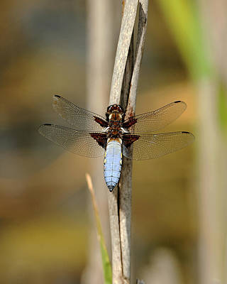 Broad Bodied Chaser Art Print by Paul Scoullar