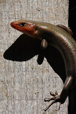 Photograph - Broad-headed Skink On Barn  by Daniel Reed