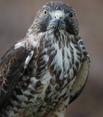 Photograph - Broad Winged Hawk by Richard Bryce and Family