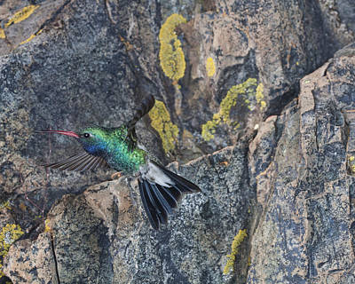 Broadbilled Hummingbirds Photograph - Broadbill Hummingbird At My Rock. by Gregory Scott