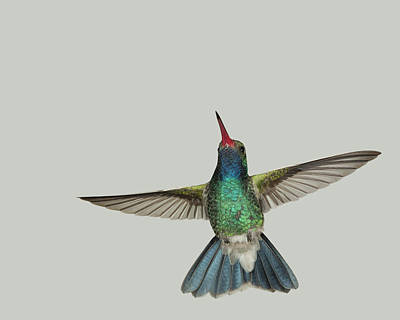 Bird Photograph - Broadbill Hummingbird Hovering by Gregory Scott