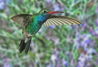 High Speed Photograph - Broadbill Hummingbird Male by Gregory Scott
