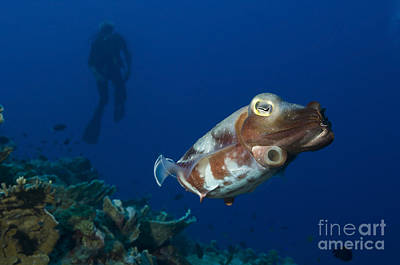 Broadclub Cuttlefish With Diver, Papua Art Print by Steve Jones