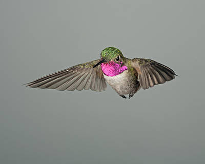 Bird Photograph - Broadtail Hummingbird In Flight by Gregory Scott