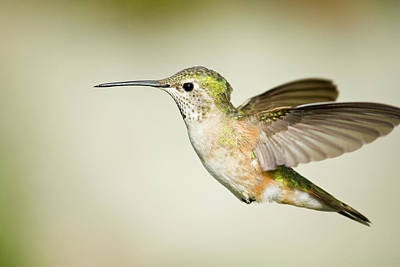 Broad Tail Photograph - Broad tailed hummingbird by Jon Eichelberger