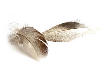 Photograph - Bronze Mallard Feather 2 by Steve Purnell