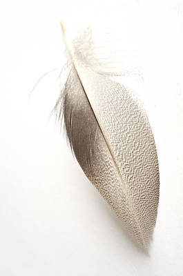Photograph - Bronze Mallard Feather 5 by Steve Purnell