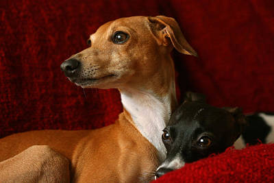 Rescued Greyhound Photograph - Brothers Italian Greyhounds by Angela Rath