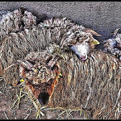 Sheep Photograph - Brown And White Sheep by Styledeouf ®