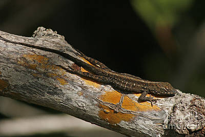 Brown Anole Photograph - Brown Anole by Cindi Ressler