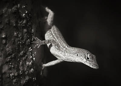 Brown Anole Photograph - Brown Anole by Patrick M Lynch