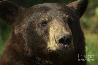 Brown Bear Art Print by Jenny May
