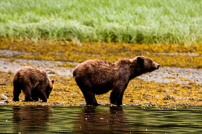 Up201209 Photograph - Brown Bear Prince Of Wales Island One by Josh Whalen