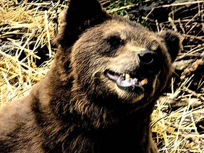 Brown Bear Smiling Art Print by Derek Swift