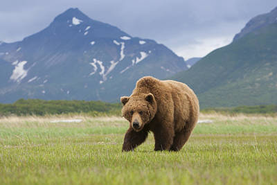 Brown Bears, Katmai National Park, Alaska, Usa Art Print by Mint Images/ Art Wolfe