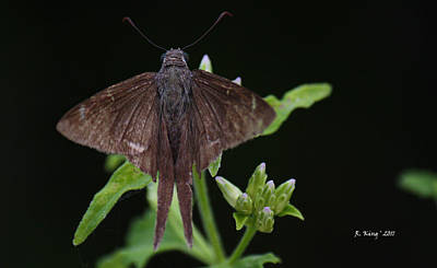 Photograph - Brown Butterfly Dorantes Longtail by Roena King