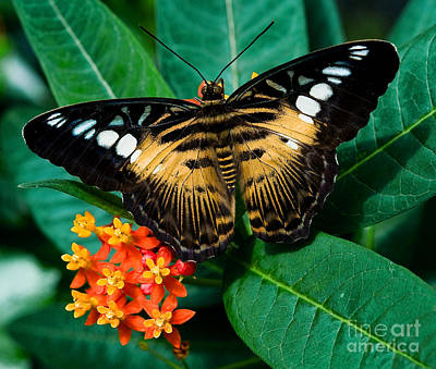 Photograph - Brown Clipper Butterfly by Terry Elniski