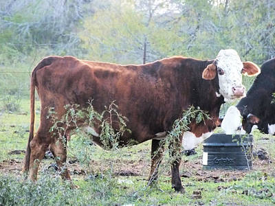 Photograph - Brown Cow1 by Tammy Herrin