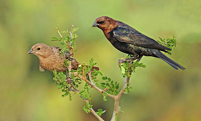 Brown Headed Cowbird Pair Art Print by Dave Mills