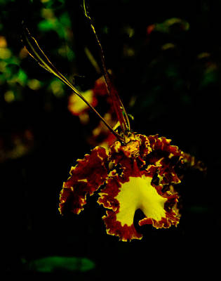 Photograph - Brown Kramerianum Orchid by Chua  ChinLeng