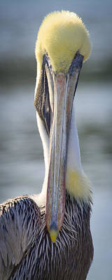 Photograph - Brown Pelican 1 by Patrick M Lynch