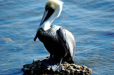 Photograph - Brown Pelican 3 by David Weeks