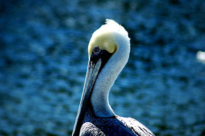 Photograph - Brown Pelican 4 by David Weeks