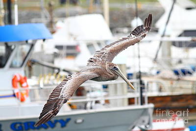 Photograph - Brown Pelican . 7d8228 by Wingsdomain Art and Photography