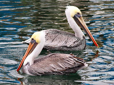 Photograph - Brown Pelican . 7d8238 by Wingsdomain Art and Photography