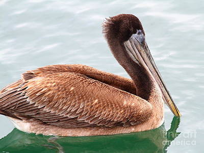 Photograph - Brown Pelican . 7d8335 by Wingsdomain Art and Photography