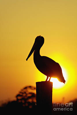 Shem Creek Photograph - Brown Pelican And Sunset - D006748 by Daniel Dempster