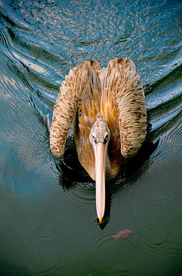 Photograph - Brown Pelican by Chua  ChinLeng