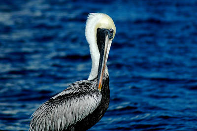 Photograph - Brown Pelican by David Weeks