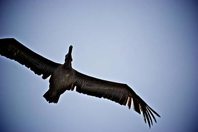 Photograph - Brown Pelican Fly Over by Eric Tressler