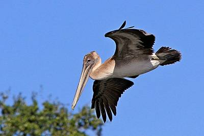 Photograph - Brown Pelican Flyby by Ira Runyan