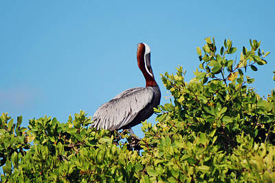 Photograph - Brown Pelican by Harvey Barrison
