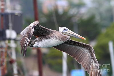 Photograph - Brown Pelican In Flight . 7d8364 by Wingsdomain Art and Photography