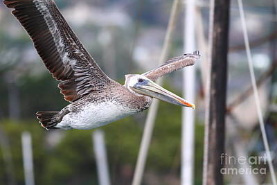 Photograph - Brown Pelican In Flight . 7d8365 by Wingsdomain Art and Photography